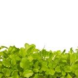 Insalata verde isolata su bianco Immagini Stock Libere da Diritti