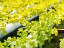 Insalata verde organica fresca delle verdure Fotografia Stock
