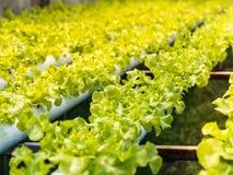 Insalata verde organica fresca delle verdure Immagine Stock Libera da Diritti