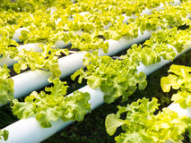 Insalata verde organica fresca delle verdure Fotografie Stock