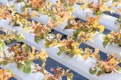 Insalata verde organica fresca delle verdure nell'azienda agricola della serra di coltura idroponica Fotografia Stock Libera da Diritti