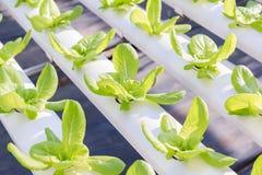 Insalata verde organica fresca delle verdure nell'azienda agricola della serra di coltura idroponica Immagine Stock Libera da Diritti