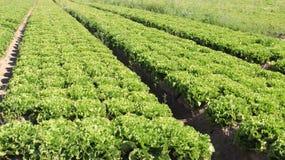 Insalata verde Tracciati organici della verdura Fotografia Stock