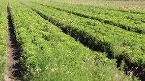 Insalata verde Tracciati organici della verdura Fotografia Stock Libera da Diritti