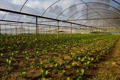 Insalate in serra Fotografia Stock Libera da Diritti