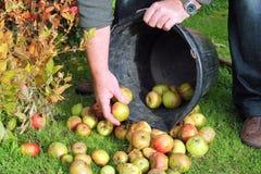 Insamling av äpplen från gräset. arkivfoto