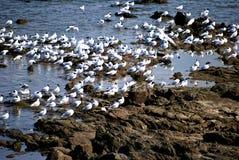 insamling av seagullen Royaltyfri Fotografi