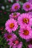 insamling av sista pollen Royaltyfria Foton