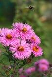 insamling av sista pollen Arkivbilder