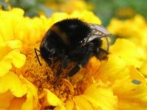 insamling av sista pollen Royaltyfri Foto