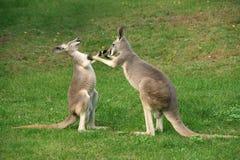 Inscatolamento del canguro Immagini Stock