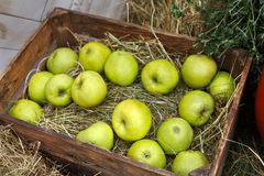 Inscatoli la scatola con le mele raccolgono nel giardino di caduta Immagine Stock Libera da Diritti