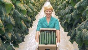 Inscatoli la scatola riempita di cetrioli nelle mani di un lavoratore felice della pianta archivi video