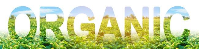 inscripción orgánica en el fondo de un campo de la plantación de las berenjenas creciendo fuera de sustancias químicas dañinas, p imagen de archivo libre de regalías