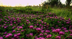 Inscription, background, clover flowers. Pink clover flowers royalty free stock photography