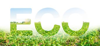 The inscription ECO on the background of a potato plantation field. Agribusiness and agro-industry. Beautiful landscape. Agriculture. The use of innovative stock photo