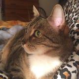Inscriptions tigrées de chat masculin | Yeux verts Images libres de droits