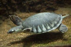 insculpta Porc-flairé de Carettochelys de tortue Images stock