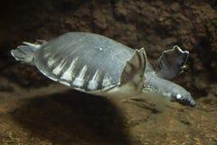 insculpta Porc-flairé de Carettochelys de tortue Photo stock