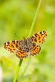 Insec d'animal de nature de papillon Photo libre de droits