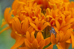 Insect with petal. Little insect on the orange Stock Photos