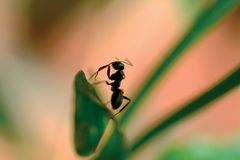 Insect. Ant Royalty Free Stock Images