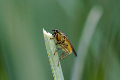 Insect. Clinging to blade of grass Stock Photography