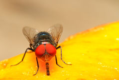 Insect. Extream closeup of a fly eyes Stock Image