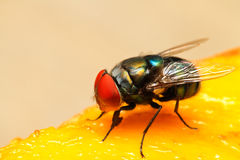 Insect. Extream closeup of a fly eyes Stock Photography