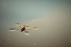 An insect. A water bug floating on top of a lake Royalty Free Stock Image