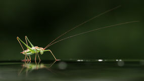 An insect Royalty Free Stock Images