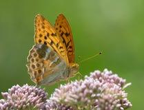 insect alleen grote parelachtige oranje bruine die vlinder op een witte bloem wordt gesteld royalty-vrije stock foto's