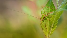 insect alone large green grasshopper close-up of side on pink and green yellow background with soft light royalty free stock image
