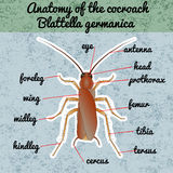 Insect anatomy. Sticker Blattella germanica. cockroach. Sketch of cockroach.  cockroach Design for coloring book.  Royalty Free Stock Image