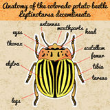 Insect anatomy. Sticker  colorado potato beetle. Leptinotarsa decemlineata. Sketch of colorado potato beetle.  Stock Photos