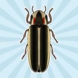 Insect anatomy. Sticker Firefly beetle Lampyridae. photinus pyralis. Sketch of Firefly beetle.  Firefly beetle Design Stock Photo