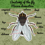 Insect anatomy. Sticker fly. Musca domestica.. Insect. a realistic fly. fly silhouette. fly Design for coloring book.  Stock Photos