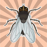 Insect anatomy. Sticker fly. Musca domestica.. Insect. a realistic fly. fly silhouette. fly Design for coloring book Royalty Free Stock Image