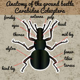 Insect anatomy. Sticker ground beetle bug. Carabidae coleoptera. Sketch of ground beetle. ground beetle Design for coloring book. Royalty Free Stock Images
