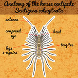 Insect anatomy. Sticker Scutigera coleoptrata. millipede.  House centipede Sketch of millipede.   Stock Images