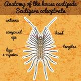 Insect anatomy. Sticker Scutigera coleoptrata. millipede.  House centipede Sketch of millipede.. Millipede Design for coloring book. hand-drawn millipede Stock Images