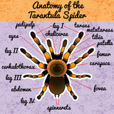 Insect anatomy. Tarantula spider. Brachypelma Royalty Free Stock Images