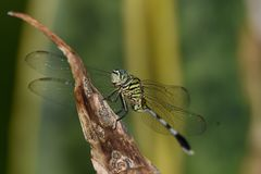 This insect animal is called a dragonfly green in black. Transparent wings stretched with a striped black tail on a dry leaf stock images