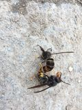 Two bees mated on the ground. Insect Animal habits Ground Black brown bee Animal instinct Insecta Stock Photography