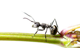 Insect ant Royalty Free Stock Image