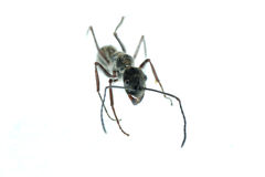 Insect ant macro isolated Stock Image