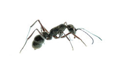 Insect ant macro isolated Stock Photo