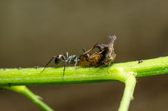 Insect ant and thorn mimic horn Royalty Free Stock Photo