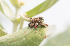 Insect attacking Aphids Stock Photography