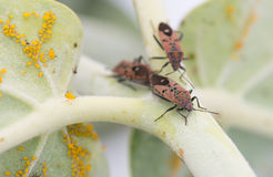 Insect attacking Aphids Royalty Free Stock Photos